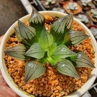 New Arrival สินค้าใหม่ พึ่งนำเข้า Haworthia Mutant Magnifica G succulents กุหลาบหินนำเข้า ไม้อวบน้ำ