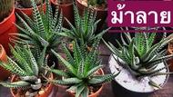 กระบองเพชร แคคตัส Cactus : ไม้อวบน้ำ Succulent plants : (ฮาโวเทีย ม้าลาย) ขนาดต้นเฉลี่ยประมาณ 4-5 CM.