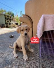 Anak anjing jantan mix golden labrador