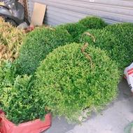 *文青園藝*超火紅波波草 著名IG打卡植物 圍籬植物 球型七里香