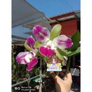 """Hot Sale กล้วยไม้แคทลียา แคทลียาเย็นโคโลน่า กระถาง3""""ครึ่ง ไม่ติดดอก แต่ไม้เป็นไซต์ให้ดอกได้แล้วค่ะ ราคาถูก ต้นไม้ ไม้ ประดับ ต้นไม้ ประดับ พรรณ ไม้"""