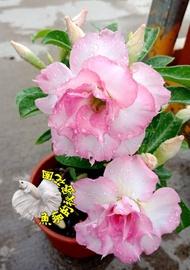 [粉紅色系/粉白系重瓣沙漠玫瑰花盆栽] 5吋盆複瓣沙漠玫瑰盆栽 ~有花苞的優先出貨~ 多年生觀賞花卉盆栽~ 室外半日照佳