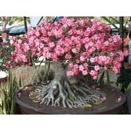 多肉種子 沙漠玫瑰粉色adenium obesum 夏播喜熱喜干燥 特價