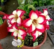 [迷你米非紅] 特殊品種迷你沙漠玫瑰 5寸盆 多年生觀賞花卉盆栽 室外半日照佳~寄出時不一定還有花!