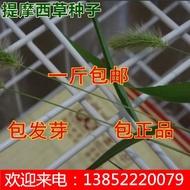 《種子花園》進口牧草種子 提摩西草種子 貓尾草種子 提牧草種子 一斤熱銷 熱賣