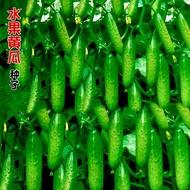 台灣/種子花四季播種水果黃瓜節節瓜高產小黃瓜地載陽臺盆栽菜籽農家蔬菜種子