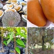 Anak Pokok Durian Duri Hitam (2 feet+++) (WEST MALAYSIA ONLY) Buah Buahan Fruits Live Plant