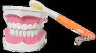 【晴晴百寶盒】保母證照專用 2.5倍大 牙齒模型(有牙縫)+送大牙刷 保母娃娃術科考試 醫學口腔護理 齒科教學 N054