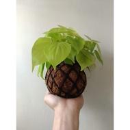 心葉蔓綠絨 - 手作植栽球 極度穩根