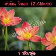 1 หัว/ชุด บัวดิน จินดา (Z.Chinda) บัวดินสีส้มอมแดง ชื่ออื่นๆ บัวจีน บัวฝรั่ง บัวสวรรค์ ว่านขุนแผนสะกดทัพ