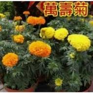 萬壽菊種子,3公克