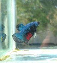 Ikan cupang avatar gordon sepasang
