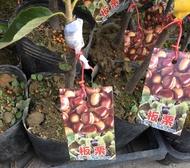 一禪種苗園-營養豐富<板栗(糖炒栗子)>水果苗-4.5吋盆