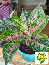 Aglaonema Pink Panther with FREE plastic pot pebbles and garden soil (Indoor Plant Real Plant Live Plant and Limited Stock) - Plants for Sale