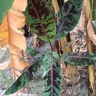 香蕉苗 斑葉香蕉苗 紅斑葉觀賞蕉苗。當季促銷 單顆200滿五送一