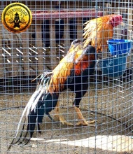Terbaru Telur Ayam Lhk Ekor Lidi Bukan Shamo Ganoi Pama Trad Saigon