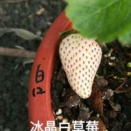 冰晶白草莓走莖苗3吋加高盆, 草莓苗