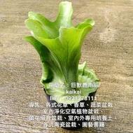 巨獸鹿角蕨