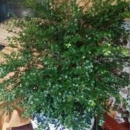 小葉紫檀觀賞盆栽~ 樹幹粗壯~ 葉片健美