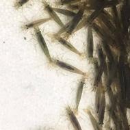 🦐大和藻蝦 - 除藻工具 高級活餌 高級飼料