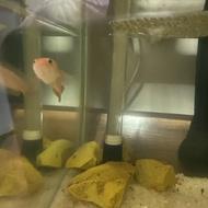 channa golden limbata size 10cm dan 12cm