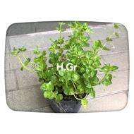 心葉水薄荷苗水生、地被植物(葉子香香的)B貨下標區