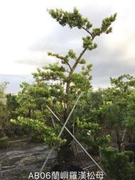 【盛宏園藝】蘭嶼羅漢松︱彎曲造型羅漢松AB06母果︱高度300公分以上(請自取)