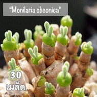 "Hot Sale เมล็ดพันธุ์ ไม้อวบน้ำ ""Monilaria obconica"" ( หูกระต่าย) 30 เมล็ด ราคาถูก ต้นไม้ ไม้ ประดับ ต้นไม้ ประดับ พรรณ ไม้"