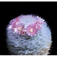 Hot Sale กระบองเพชร ไม้อวบน้ำ แคคตัส cactus succulent seeds เมล็ดพันธุ์ MAMMILLARIA bocasana v. rosea ราคาถูก ต้นไม้ ไม้ ประดับ ต้นไม้ ประดับ พรรณ ไม้