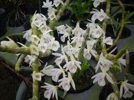 裕達蘭園 白貝殼石斛蘭 Den.cretaceum 母株高芽