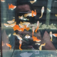 全紅白子-飼料-孔雀魚