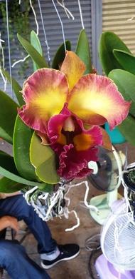 ต้นกล้วยไม้ แคทลียา (Cattleya) ราชินีแห่งกล้วยไม้ ส่งต้นที่พร้อมให้ดอก ดอกส้ม ออกดอกตลอด เลี้ยงง่าย จัดส่งพร้อมกระถาง 4 นิ้ว