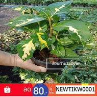 Hot Sale ต้นไม้มงคล ใบเงิน Caricature plante ทองคำขาว กระถาง 6 นิ้ว ราคาถูก ต้นไม้ ไม้ ประดับ พรรณ ไม้ ต้นไม้ ประดับ