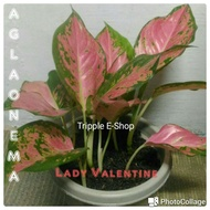 flowersﺴ¤Aglaonema Pink lady, Red Siam,Snow white,Lady Valentine & other variety