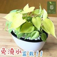 【現貨】【小品文化】桃心蔓 橢圓免澆水盆栽 心葉蔓綠絨 觀葉植物 室內植物 自動吸水 水培 創意花盆 居家辦公盆花 種子