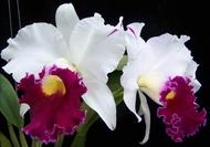"""ต้นกล้วยไม้ แคทลียา (Cattleya)"""" ราชินีแห่งกล้วยไม้ ฉงกู่สวอน ไม้พร้อมให้ดอก ดอกใหญ่พิเศษ ดอกหอม ออกดอกตลอด เลี้ยงง่าย จัดส่งพร้อมกระถาง 4 นิ้ว ลำต้นสูง 30-45ซม ต้นไม้แข็งแรงทุกต้น เรารับประกันจัดส่งห่ออย่างดี จัดส่งสินค้าตามรูป"""