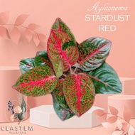 Thailand Aglaonema STARDUST RED Potted Live Plant