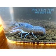 ●藍螯(佛羅里達藍螯)【4-6cm】【母】●【配來富觀賞水族】觀賞蝦-螯蝦~白螯 橘螯 佛羅里達藍螯(佛螯) 特薩努