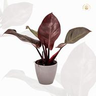 แบล็คคาดินัล หรือ กุมารดำเรียกทรัพย์- รากแน่น- black cardinal - easyplant