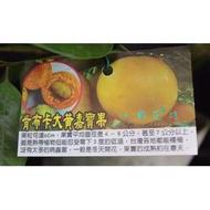 心栽花坊-肯布卡大黃樹葡萄/嘉寶果/7吋盆/20cm/嫁接苗/水果苗/售價1600特價1300
