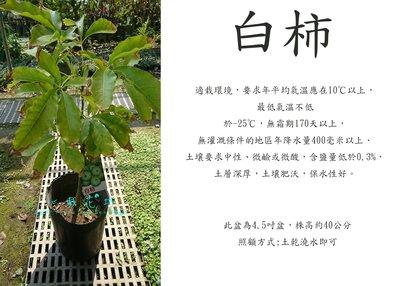 心栽花坊-白柿/冰淇淋果/嫁接苗/水果苗/售價900特價680