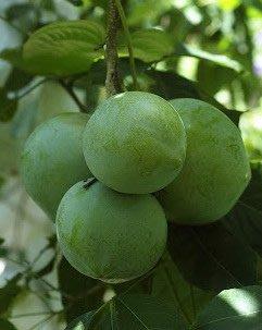 水果苗 ** 大果白柿** 1入
