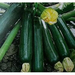 夏南瓜-綠櫛瓜(輝青)種子summer squash