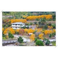 松雅園|4米高&加拿大黃楓、黃金楓、黃楓樹