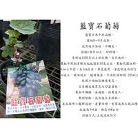 心栽花坊-藍寶石葡萄/4吋/嫁接苗/葡萄品種/水果苗/售價2200特價1600