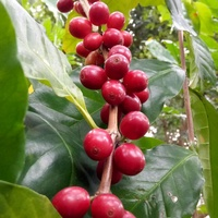 【阿拉比卡品種咖啡種子】可種小品盆栽.樹苗~綠化家園***一份500顆349元