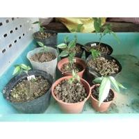 石朴苗(實生苗)朴樹 石博 四蕊朴 昆明朴 西藏朴 優質盆栽樹種