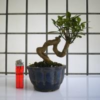 明陽盆栽園*【金豆柑】樹高15*左右14*幹徑2.5cm 易開花結果 好照顧 小品盆景