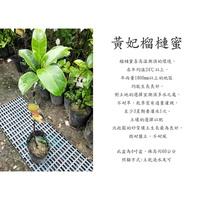 心栽花坊-黃妃榴槤蜜/水果苗/榴槤蜜品種/嫁接苗/售價600特價500