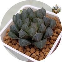 美肉[進口多肉植物]:黑肌玉露 稀有